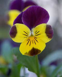 Viola cornuta horned violet bedding pansy tufted pansy pfaf plant viola cornuta horned violet bedding pansy tufted pansy mightylinksfo Images