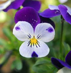 Viola cornuta Horned Violet, Bedding Pansy, Tufted Pansy,