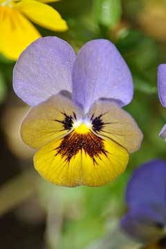 Viola tricolor Heartsease, Johnny jumpup, Field Pansy,