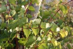 Vitis rupestris Sand Grape