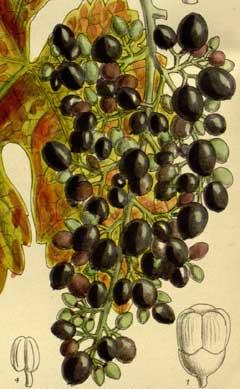 Vitis Thunbergii Pfaf Plant Database