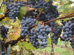 Vitis vinifera Grape, Wine grape, Purpleleaf Grape, Common Grape