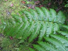 Woodwardia radicans Chain Fern, Rooting chainfern