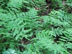 Woodwardia areolata Netted chain fern