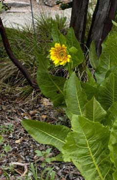 Wyethia angustifolia California Compass Plant