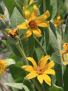 Wyethia mollis Woolly Wyethia, Woolly mule-ears