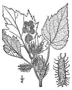 Xanthium commune Canada cocklebur