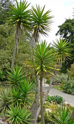yucca aloifolia spanish bayonet aloe yucca dagger plant. Black Bedroom Furniture Sets. Home Design Ideas