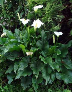 Zantedeschia Aethiopica Arum Lily Calla Lily White Calla Lily