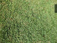 Zoysia japonica Korean Lawn Grass