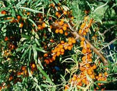 Hippophae salicifolia Willow-Leaved Sea Buckthorn