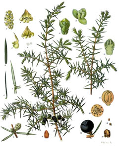 Juniperus communis Juniper, Common juniper