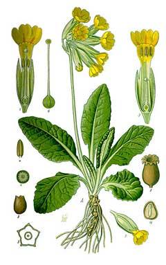 Первоцвет весенний (П. лекарственный, П. настоящий, примула лекарственная, баранчики, молочники)...