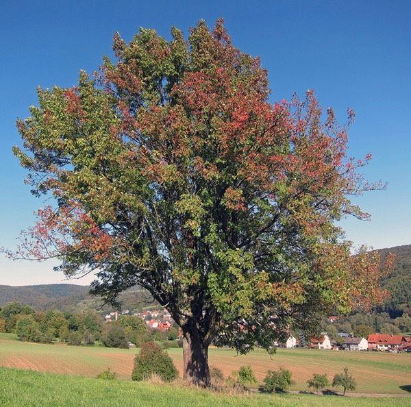 Sorbus-domestica_EdibleTrees